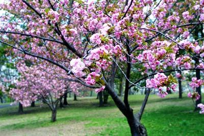 cherry-blossom-2.jpg