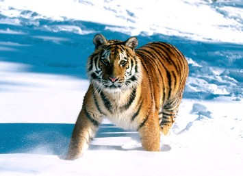 siberian-tiger1.jpg